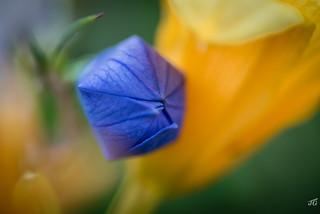 Balloon Flower and Day Lily