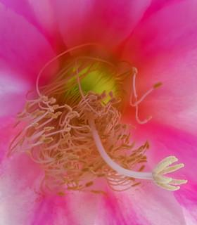 Climax epiphyllum interior