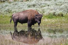 I am watching you (Patrick Carpreau) Tags: haydenvalley usa yellowstone bizon photoshopcc2018