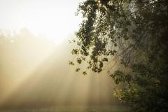 Light (pszcz9) Tags: polska poland przyroda nature natura światło light mgła fog poranek morning drzewo tree pajęczyna spiderweb jesień autumn dolinabaryczy baryczvalley beautifulearth sony a77