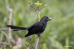 Smooth-billed Ani (Crotophaga ani) (Frank Shufelt) Tags: smoothbilledani crotophagaani cuculidae cuckoos anius aves birds wildlife florencia caquetá colombia southamerica 20180304 0564 march2018