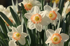 ready or not, here we come (Judecat (embracing Spring!)) Tags: flowers mygarden spring daffodils