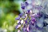 wisteriathismorning (saragallery) Tags: wisteria glicine viola purple violet lavendar bokeh beauty sunlight light sun happy
