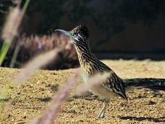 Ground cuckoo (thomasgorman1) Tags: ground cuckoo roadrunner wildlife desert baja mx mexico canon nature