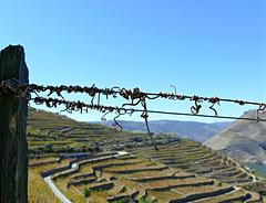 Remains of the Season (Colorado Sands) Tags: fence vineyards hillside sandeman quintadoseixo regua wine terraces douro sandraleidholdt portugal europe portuguese hff