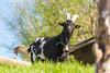 Ziegenbock #2 (PADDYSCHMITT.DE) Tags: oberschwaben oberschwabenländle ziegen ziege bock ziegenbock tiere frühling