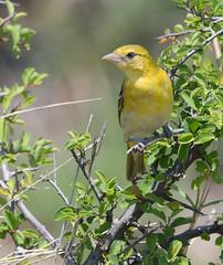 Lesser Masked-Weaver (Ploceus intermedius)_DSC2699-editCC (Dave Krueper) Tags: africa southafrica birds birding bird weaver