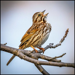 Song Sparrow Crooner (Rodrick Dale) Tags: song sparrow sing bird