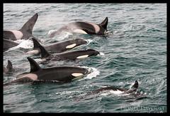 orcasorcasorcas (Lionel Davoust) Tags: breiðafjörður iceland orcinusorca breathtaking cetacean group killerwhale orca pod travelling whale wild wildlife