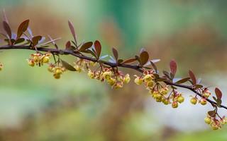 berberis vulgaris (04)