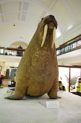 IMGP9054 (Steve Guess) Tags: horniman museum forest hill london england gb uk walrus