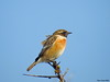Common Stonechat (Corine Bliek) Tags: saxicolatorquata bird birds vogel vogels nature natuur songbirds