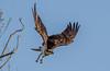DSC7404  Osprey... (jefflack Wildlife&Nature) Tags: osprey ospreys birds avian animal wildlife wildbirds waterbirds wetlands waterways estuaries estuary raptors riverbirds reservoirs birdsofprey meres lakes lochs summermigrant countryside nature