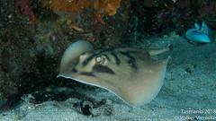 DUW_2493 (Volker Vierecke) Tags: australia bicheno tasmansea tasmania tauchen underwater