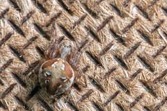"Pretty Drab for ""Evergreen"" - _TNY_4886 (Calle Söderberg) Tags: macro canon5dmkii canon canoneos5dmarkii 5d2 canonef100mmf28usmmacro raynox dcr250 flash meike mk300 glassdiffusor spider spindel arachnidae ruterspindel araneus sturmi evergreenorbweaver orbweaver masonite pattern brown beige ruter araneidae hjulspindel f22"
