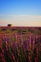 Valensole (Valérie Grcevic) Tags: valensole provence couleur lavande soleil lumiere france valeriegrcevic canon alpesdehauteprovence