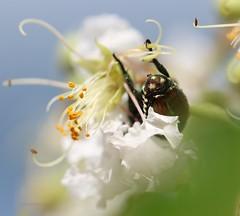 flower beetle (galsafrafoto) Tags: nature southcarolina flowers insect flowerbeetles macro beauty beautifullight naturescarousel ilovenature anythingallowed ngc naturesgoldencarousel magiceye