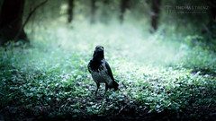 Corvus Ghost (Thomas TRENZ) Tags: austria corvidae corvus dark tamron view animal asatru bird d600 forest ghost green iamnikon look mystic nature nikonat nikonaustria nikonlove odin pagan raven spirit spring