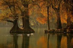 Lago Camécuaro Tangancícuaro en Michoacán (NIKONIANO) Tags: forest camecuaro otoño natural naturaleza nature surreal sabino agua water bosque árbol trees tree árboles méxico mexicano mexique nikoniano sergioalfaroromero