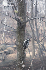 Downy Woodpecker (fesign) Tags: animalsinthewild beautyinnature bird centralparknewyorkcity colourimage day downywoodpecker femaleanimal focusonforeground forest nature nopeople oneanimal outdoors photography tranquility treetrunk usa wildlife zoology tree wood animal