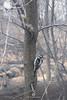 Downy Woodpecker (fesign) Tags: animalsinthewild beautyinnature bird centralparknewyorkcity colourimage day downywoodpecker femaleanimal focusonforeground forest nature nopeople oneanimal outdoors photography tranquility treetrunk usa wildlife zoology tree wood animal