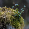 Bilberry and moss on a stump (prajpix) Tags: bilberry blaeberry moss stump understorey pine scots caledonian woods trees forest woodland pinewoods nature