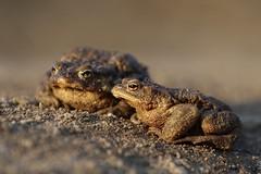 Common Toad males (nikodemmatuszkiewicz) Tags: wildlife wild wildlifephotography wildlifebeauty wildanimals amphibians animals animalphotography animalplanet animal spring breedingseason toads toad commontoad