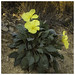 Oenothera brachycarpa (Short-fruit Evening-primrose)