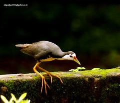 IMG_6348 White-breasted Waterhen (Amaurornis phoenicurus) (vlupadya) Tags: greatnature aves animal fauna indianbirds whitebreasted waterhen amaurornis kundapura karnataka