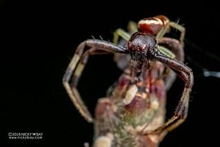 Crab spider (Synema sp.) - DSC_6073