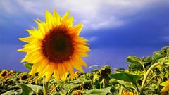 Napraforgó viharfelhős háttérrel (Sorkifalud közelében) (milankalman) Tags: sunflower yellow summer field storm weather countryside nature