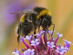 Bumble Bee (Bombus) (omarkhyam600) Tags: bumblebee bombus garden flower pollen nectar nikkor105mmmacrovr nikond500 ewerby lincs macro insects