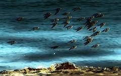 Fast Birds (beachpeepsrus) Tags: birds sanderlings shore beach flight light shadows