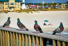 Pigeons Of Pensacola Beach (Stuart Schaefer Photography) Tags: florida pensacolabeach pigeon pigeons bird birds birdphotography wildlife wildlifephotography outdoors outdoorphotography