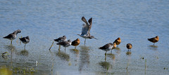 Yellowlegs and Dowitchers (glenbodie) Tags: 201829 bodie dncb glen glenbodie reifel