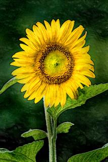 Artistic Sunflower in Bloom 6-0 F LR 7-13-18 J133