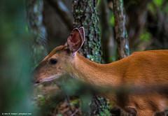 2018.06.27.1002 Little Doe (Brunswick Forge) Tags: 2018 grouped animal animals outdoor outdoors animalportraits nature virginia nikond500 tamron150600mm favorited