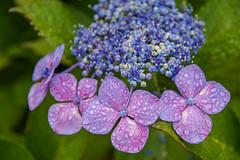 Hydrangea (shinichiro*) Tags: 20180618sdim3796 2018 crazyshin sigmasdquattroh sdqh sigma1770mmf284dcmacrohsm june summer flower macro ajisai kawasaki kanagawa japan jp 紫陽花 42222391765 candidate