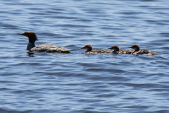 Follow mom! (runningman1958) Tags: nikond7200 d7200 nikon outdoor nature ducks duckling mere birds