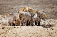 What's Going On (Kathy Macpherson Baca) Tags: animal animals world fox kits den earth beach nature wildlife planet mammal fur cute baby parents preserve