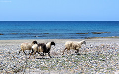 Greece: Crete, sheep on the beach (Henk Binnendijk) Tags: crete kreta island eiland insel île greece griekenland sheep beach animals agriculture vee schapen strand sea zee mer