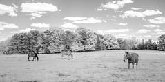 Horses Panorama IR (Neal3K) Tags: henrycountyga georgia ir infraredcamera kolarivisionmodifiedcamera
