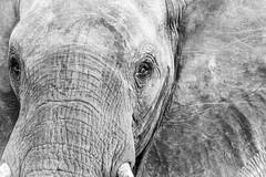 Elephant Textures (cmneuf) Tags: elephant black white bw africa nikon eye texture botswana closeup wrinkles