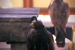 raptor8 (Moyer566) Tags: hawk raptor flightoftheraptors summer adventure explore wisconsin bristol renfaire renaissance bristolrenaissancefaire canon 50d corel paintprox5 photography