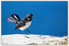 Willy Wagtail (Bear Dale) Tags: sometyhingthatihaveneverseenbeforescientificnamerhipiduraleucophrys nikon d850 nikkor afs 200500mm f56e ed vr dale bird feathers feather water blue willy wagtail lake conjola black white male photography nature fotoworx beardale lakeconjola shoalhaven southcoast framed aves pájaro oiseau desoiseaux lanature naturaleza photo photograph groups group flickr naturephotography