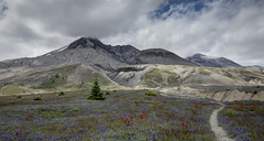 Shrinking Wasteland (TW Olympia) Tags: mount saint helens mt st flowers wildflowers clouds trail tree