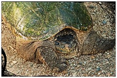 I AM Smiling! (garywitte845) Tags: turtle snappingturtle common animal nature textured framed
