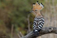 Abubilla (Sento74) Tags: abubilla upupaepops aves birds fauna nikond500 tamron150600g2