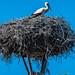 2018 - Romania - Danube Delta - Sfântu Gheorghe - Stork Nest