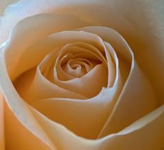 Aniversary rose. (S.K.1963) Tags: elements flower rose pastel petals pink peach olympus omd em1 mkii 60mm 28 macro